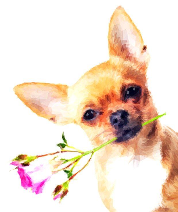 The Chihuahua
